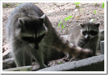 Racoon with baby 2